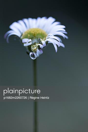 Flower with folded petals - p1682m2260726 by Régine Heintz