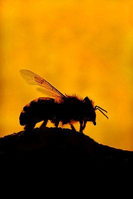 Bee - p1028m2260699 by Jean Marmeisse