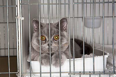 Cat in a cage at a cat show - p1057m1564465 by Stephen Shepherd