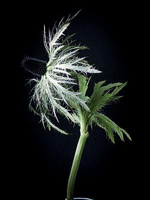 Pflanzenportrait - p1371m2090219 von virginie perocheau