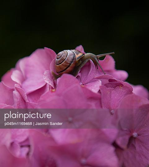 Schnecke auf Rhododenron Blüte - p045m1169468 von Jasmin Sander