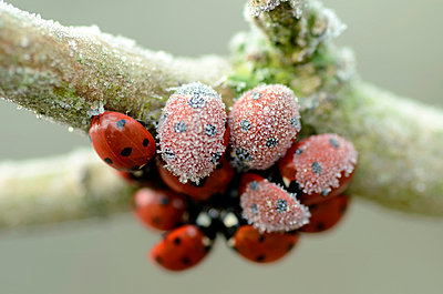 Seven-spotted ladybirds, Coccinella septempunctata, hanging at a twig covered with frost - p300m978896f by Mark Johnson