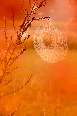 Spider web in the morning fog - p739m1170272 by Baertels
