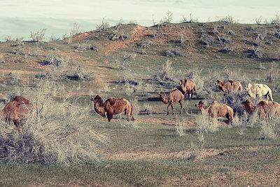 Kamelherde am Aydarsee, Usbekistan - p1189m2176161 von Adnan Arnaout