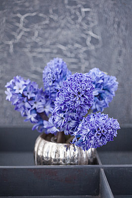 Blue hyacinth in grey painted box - p1470m2030744 by julie davenport