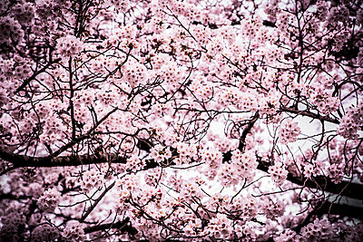 Cherry blossom - p1042m1020619 by Cardinale