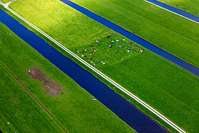 Cows in polder - p1120m1004228 by Siebe Swart