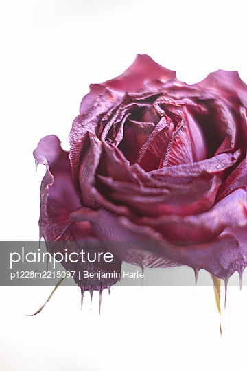 Melting Rose - p1228m2215097 by Benjamin Harte