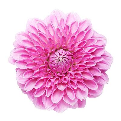 Blüte rosé - p1312m1207403 von Axel Killian