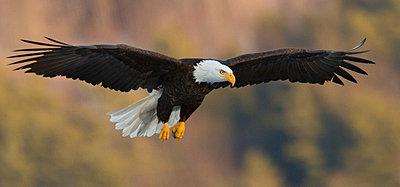 Bald eagle (Haliaeetus leucocephalus) flying against blurry background - p343m1475812 by Carl D. Walsh