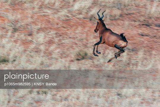 Laufende Kuhantilope, Kalahari, Afrika - p1065m982595 von KNSY Bande