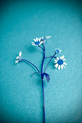 Daisy in blue shades - p1248m2209180 by miguel sobreira