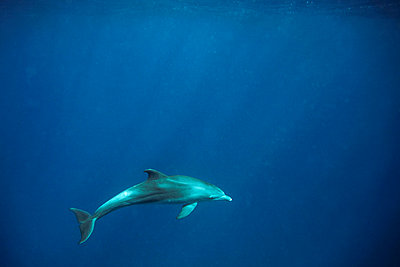 A dolphin in the blue sea - p3433414 by Kennet Havgaard