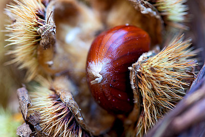 Sweet chestnut - p1205m1106470 by Toni Anzenberger & Christina Anzenberger-Fink