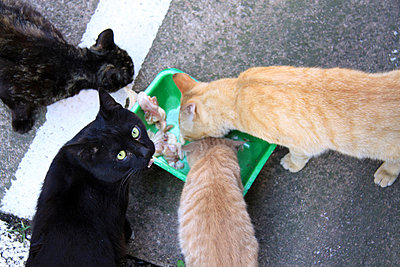 Cats having a meal - p2770151 by Dieter Reichelt
