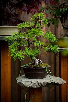 Bonsai auf Stein - p1273m1556634 von Melanka Helms