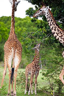 Giraffes - p533m982495 by Böhm Monika