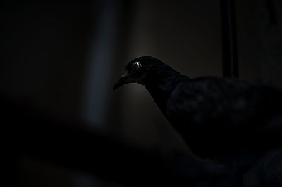 Pigeon - p1007m959815 by Tilby Vattard