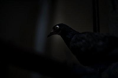 Pigeon - p1007m959815 by Tilby Vattard