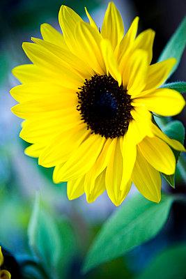 Close-up of sunflower - p312m799107f by Ellinor Hall