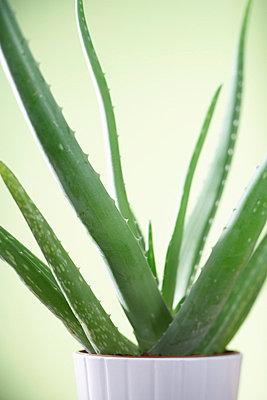 Aloe vera - p4640985 by Elektrons 08