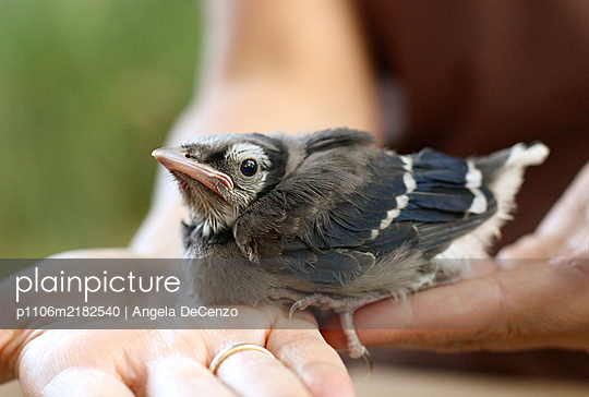 A baby blue jay sits in female hands - p1106m2182540 by Angela DeCenzo