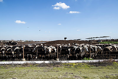 Cattle farm in California - p1134m1440766 by Pia Grimbühler