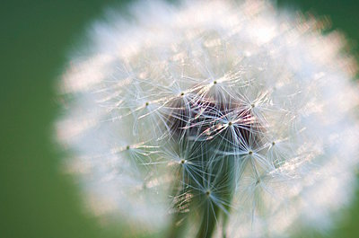Dandelion - p1169m1055001 by Tytia Habing