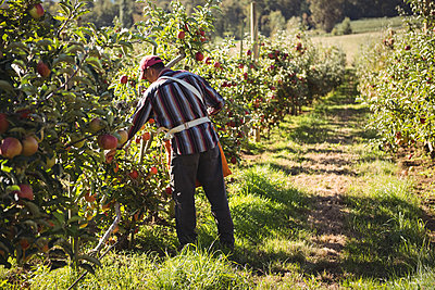 Farmer collecting apples in apple orchard - p1315m1484116 by Wavebreak