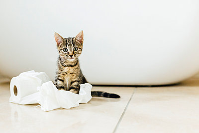 Eight week old tortoiseshell kitten playing with toilet roll - p300m1356043 by Nicole Matthews