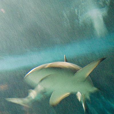 Shark - p5679527 by Gina van Hoof