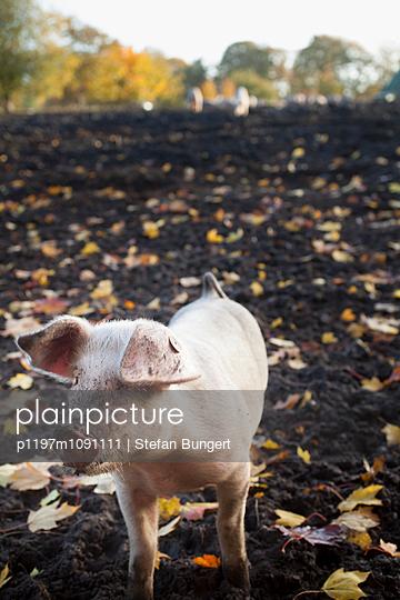 Schwein im Herbst - p1197m1091111 von Stefan Bungert