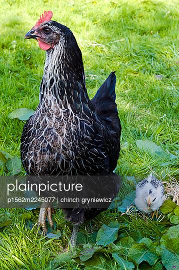 Schwarze Henne mit weißem Küken - p1562m2245077 von chinch gryniewicz