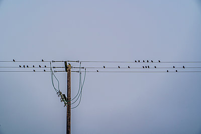Schwarm Stare auf Stromleitungen - p1082m2263639 von Daniel Allan