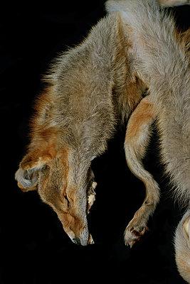 Präparierter Fuchs - p1151m956084 von Laure Ledoux