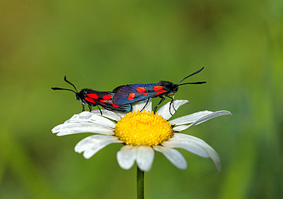 New Forest Burnet moth pair mating on daisy - p1251m1087478 by Heikki Tabell