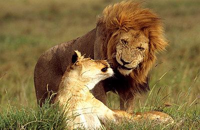 Nationalpark in Kenia - p3300393 von Harald Braun