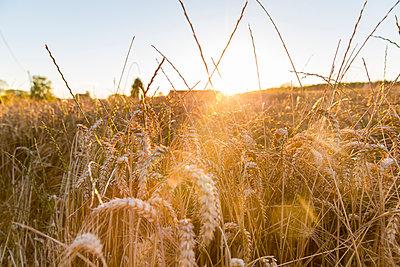 Gräser im Abendlicht - p756m1181648 von Bénédicte Lassalle