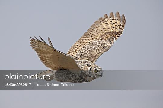 Great horned owl (Bubo virginianus) in flight. Saskatchewan, Canada, August. - p840m2269817 by Hanne & Jens Eriksen