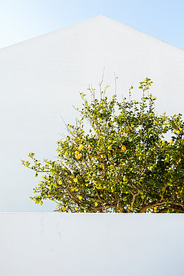 Lemon Tree - p1114m1148736 by Carina Wendland