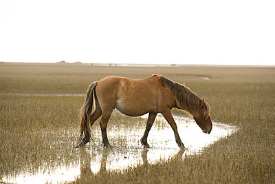 Wild Horses along the Outer Banks of North Carolina. - p1166m2130865 by Cavan Images