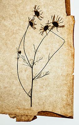 Dried flower on sheet of paper - p971m1190747 by Reilika Landen