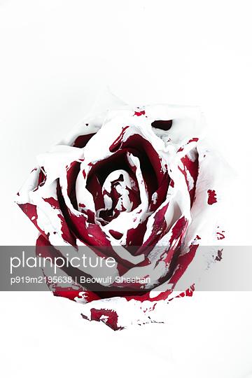 Rote Rose mit bemalt weißer Farbe bedeckt - p919m2195638 von Beowulf Sheehan
