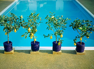 An outdoor swimming pool, with lemon trees in pots at the edge of the pool - p1183m999374 by Heinze, Winfried