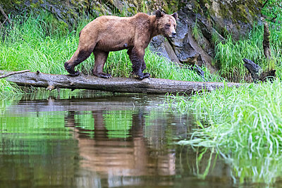 Female grizzly bear - p300m884999f by Fotofeeling