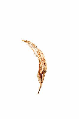 Trockenes Blatt durchleuchtet - p1212m1136915 von harry + lidy