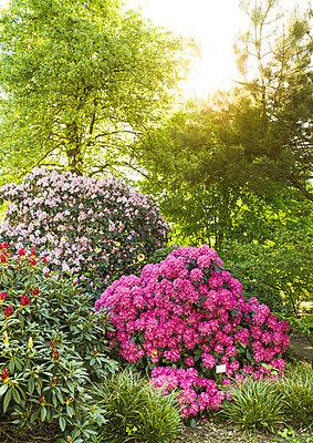 Garten mit Alpenrosen - p1510m2030857 von Ingrid Amenda