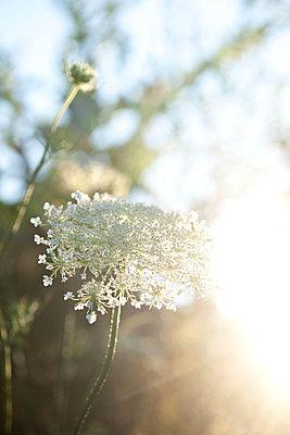Zarte Wildblumen im Gegenlicht - p533m2065570 von Böhm Monika