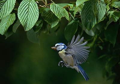 Blue Tit carrying insect larva prey - p8845051 by Stephen Dalton