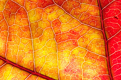 Close-up of a leaf of the American Sweetgum in autumn colours - p1144m943927 by Hannie  Joziasse